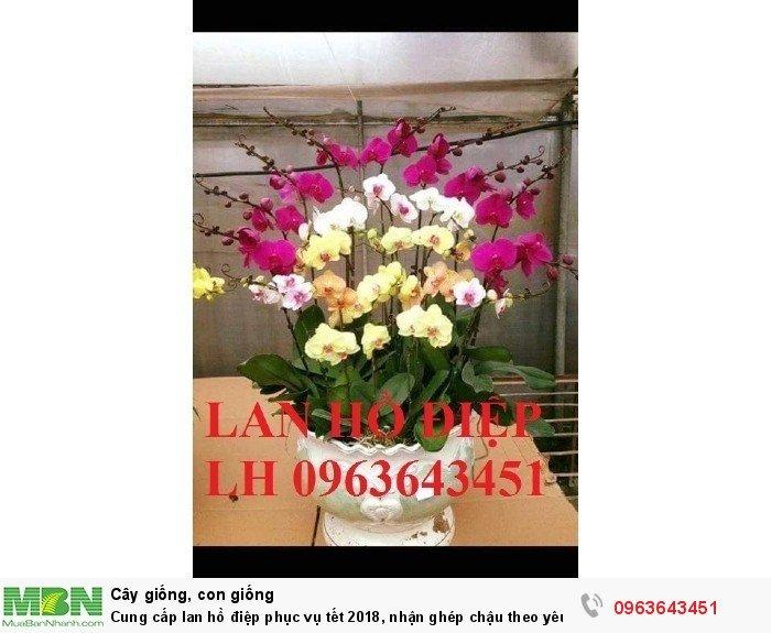 Cung cấp lan hồ điệp phục vụ tết, nhận ghép chậu theo yêu cầu, đảm bảo hoa đẹp, chất lượng cao5