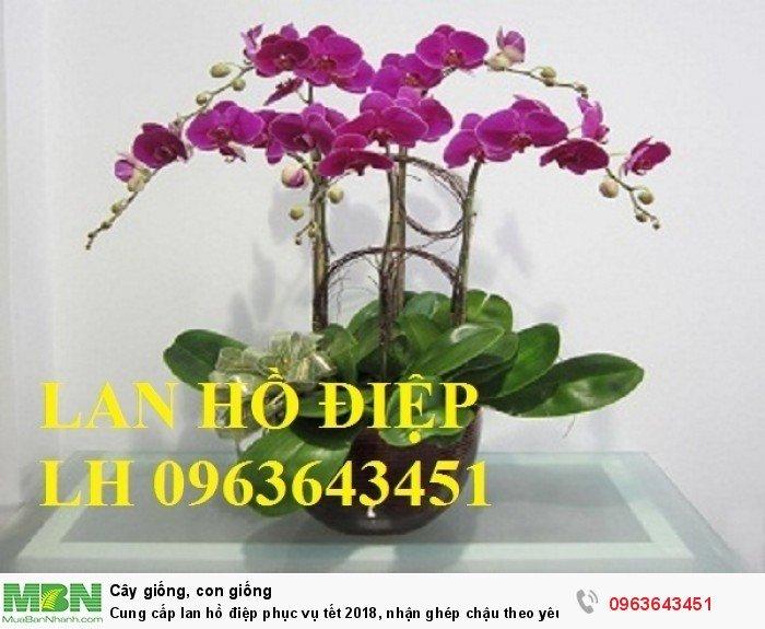 Cung cấp lan hồ điệp phục vụ tết, nhận ghép chậu theo yêu cầu, đảm bảo hoa đẹp, chất lượng cao4