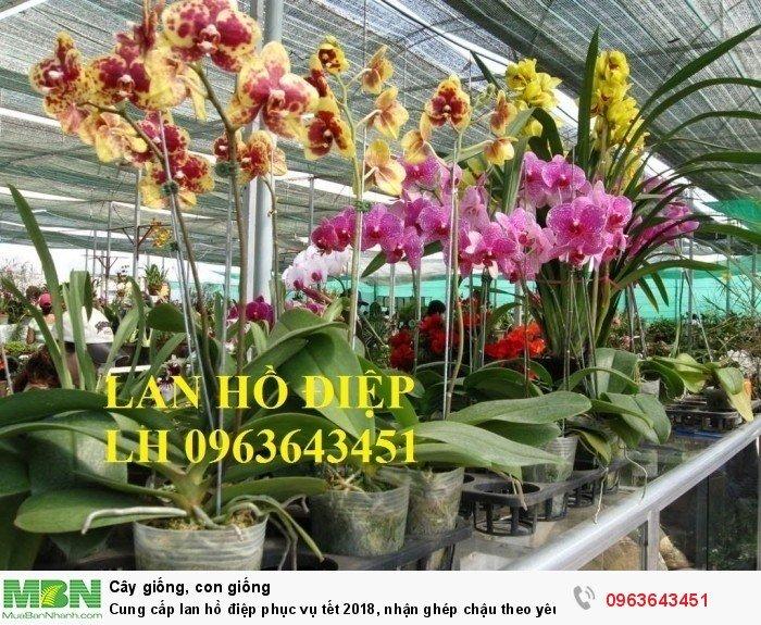 Cung cấp lan hồ điệp phục vụ tết, nhận ghép chậu theo yêu cầu, đảm bảo hoa đẹp, chất lượng cao6