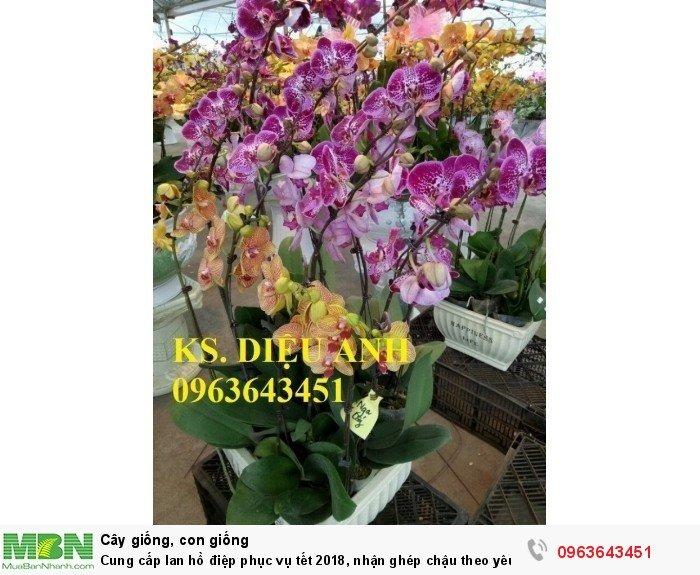 Cung cấp lan hồ điệp phục vụ tết, nhận ghép chậu theo yêu cầu, đảm bảo hoa đẹp, chất lượng cao15