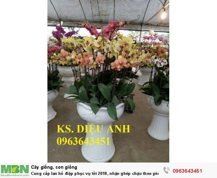 Cung cấp lan hồ điệp phục vụ tết, nhận ghép chậu theo yêu cầu, đảm bảo hoa đẹp, chất lượng cao16