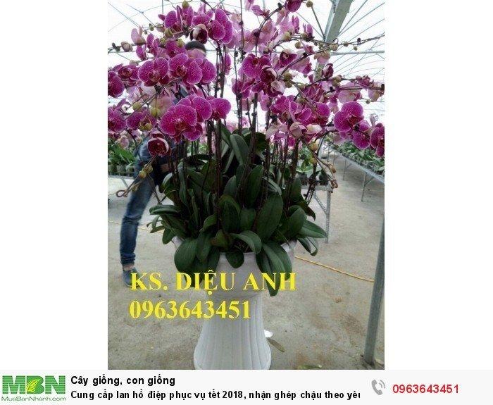 Cung cấp lan hồ điệp phục vụ tết, nhận ghép chậu theo yêu cầu, đảm bảo hoa đẹp, chất lượng cao17