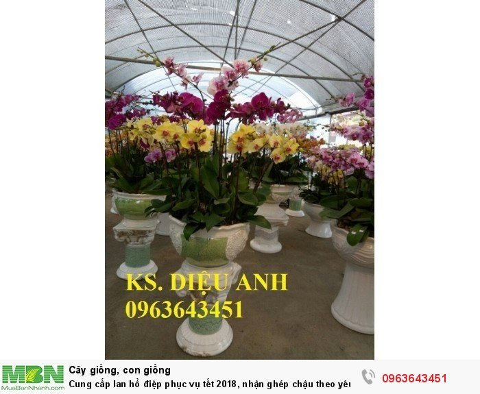 Cung cấp lan hồ điệp phục vụ tết, nhận ghép chậu theo yêu cầu, đảm bảo hoa đẹp, chất lượng cao18