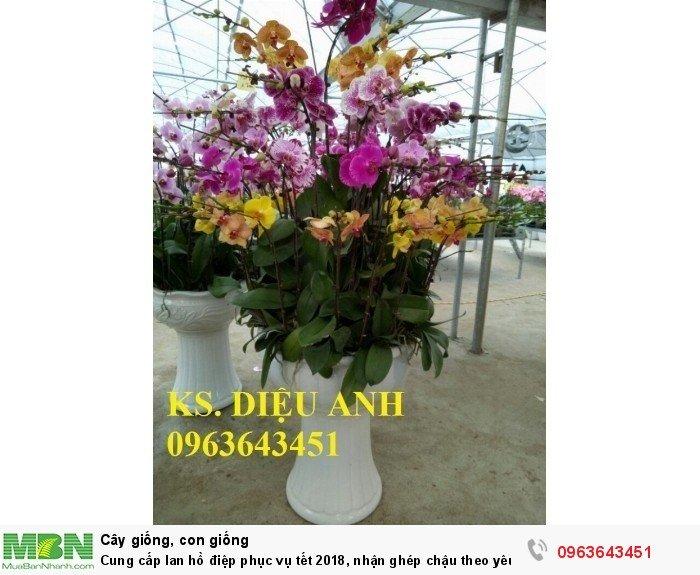 Cung cấp lan hồ điệp phục vụ tết, nhận ghép chậu theo yêu cầu, đảm bảo hoa đẹp, chất lượng cao19