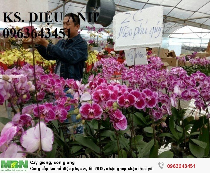 Cung cấp lan hồ điệp phục vụ tết, nhận ghép chậu theo yêu cầu, đảm bảo hoa đẹp, chất lượng cao24