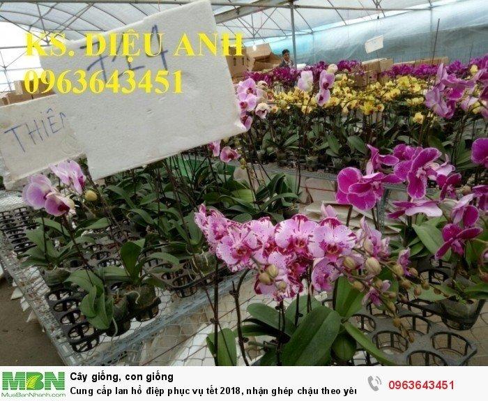 Cung cấp lan hồ điệp phục vụ tết, nhận ghép chậu theo yêu cầu, đảm bảo hoa đẹp, chất lượng cao27