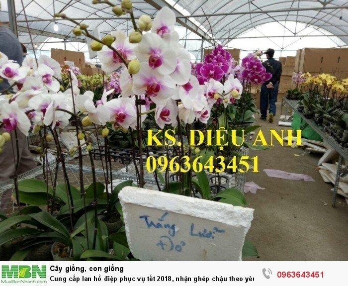 Cung cấp lan hồ điệp phục vụ tết, nhận ghép chậu theo yêu cầu, đảm bảo hoa đẹp, chất lượng cao28