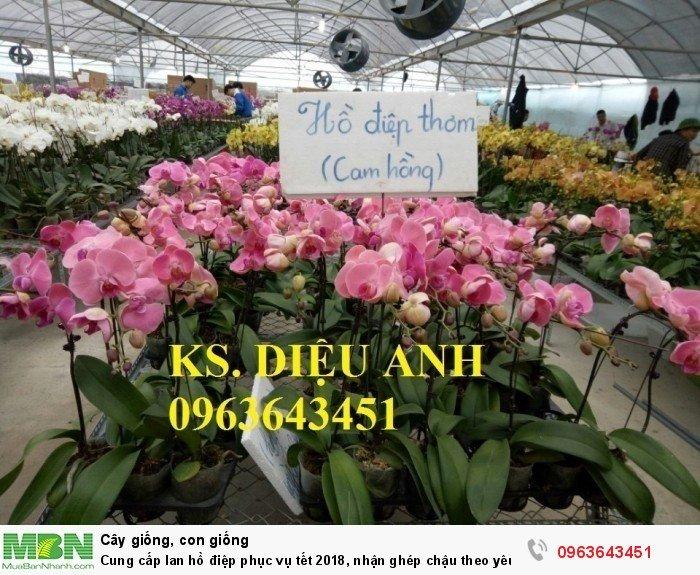 Cung cấp lan hồ điệp phục vụ tết, nhận ghép chậu theo yêu cầu, đảm bảo hoa đẹp, chất lượng cao29
