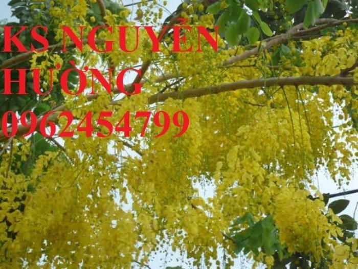 Muồng hoàng yến, osaka. địa chỉ cung cấp hoa cây cảnh toàn quốc3
