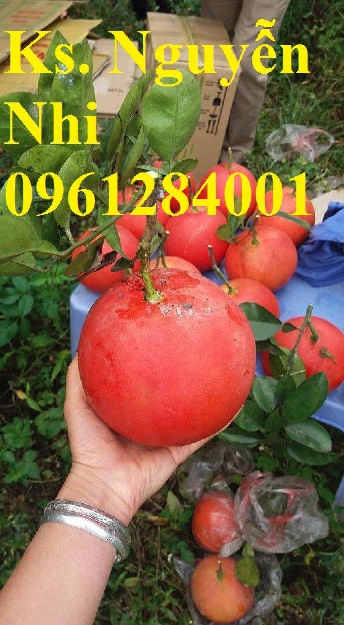 Mua cây giống bưởi đỏ luận văn ở đâu chuẩn giống, cây giống đảm bảo chất lượng, địa chỉ cung cấp cây giống uy tín
