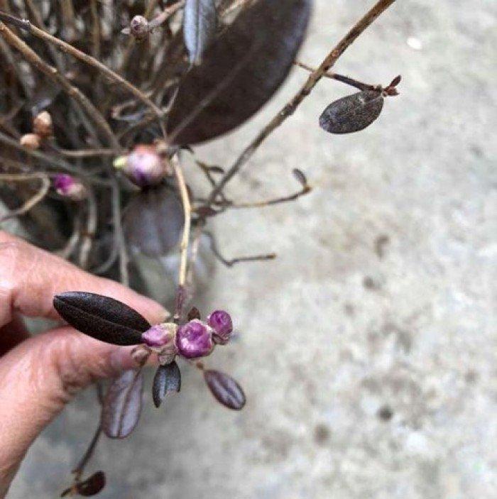 [1] Giống hoa đỗ quyên khô, đỗ quyên ngủ đông.