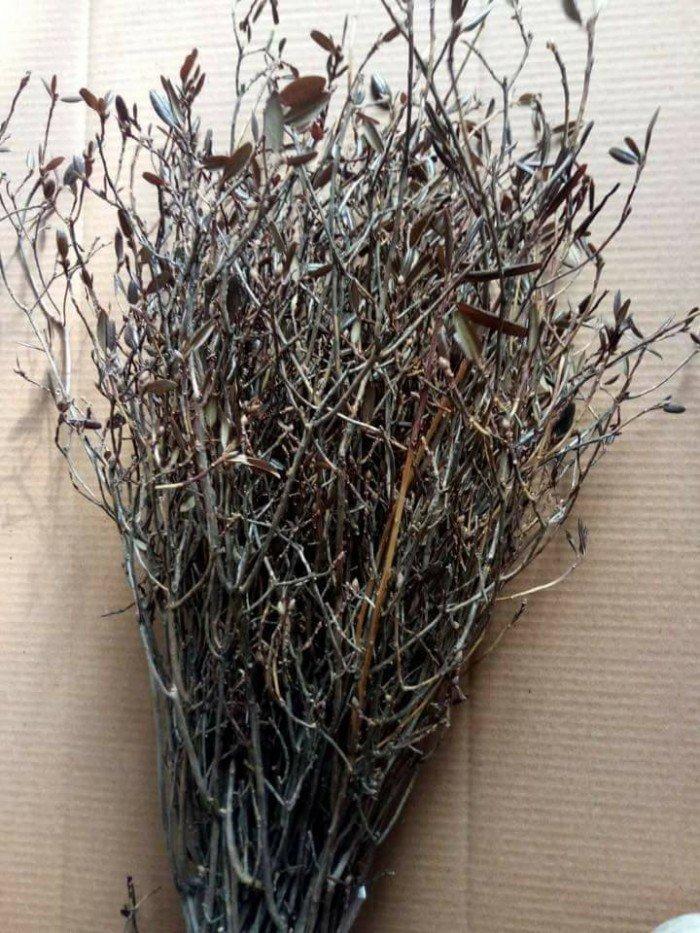 [5] Giống hoa đỗ quyên khô, đỗ quyên ngủ đông.