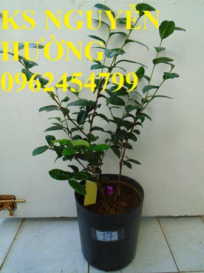 Kỹ thuật trồng và chăm sóc cây trà xanh tại nhà. cung cấp số lượng lớn cây giống trà xanh3