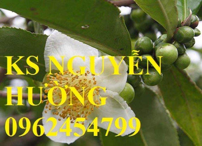 Kỹ thuật trồng và chăm sóc cây trà xanh tại nhà. cung cấp số lượng lớn cây giống trà xanh6
