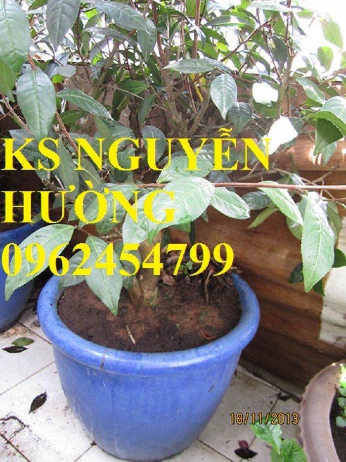 Kỹ thuật trồng và chăm sóc cây trà xanh tại nhà. cung cấp số lượng lớn cây giống trà xanh2