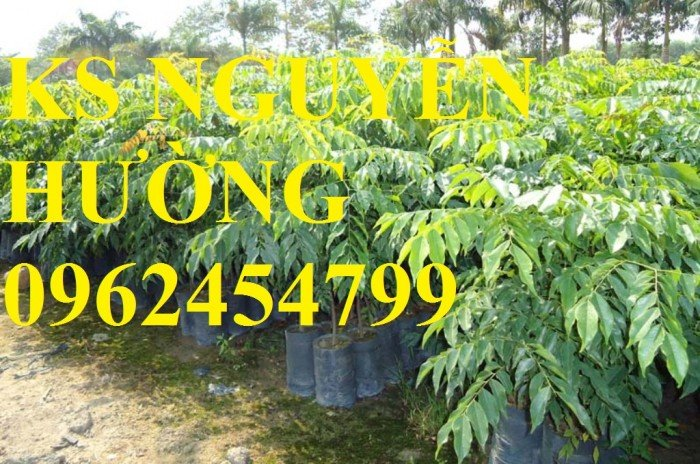 Kỹ thuật trồng cây sưa đỏ, bán giống cây sưa đỏ số lượng lớn - giao cây toàn quốc3