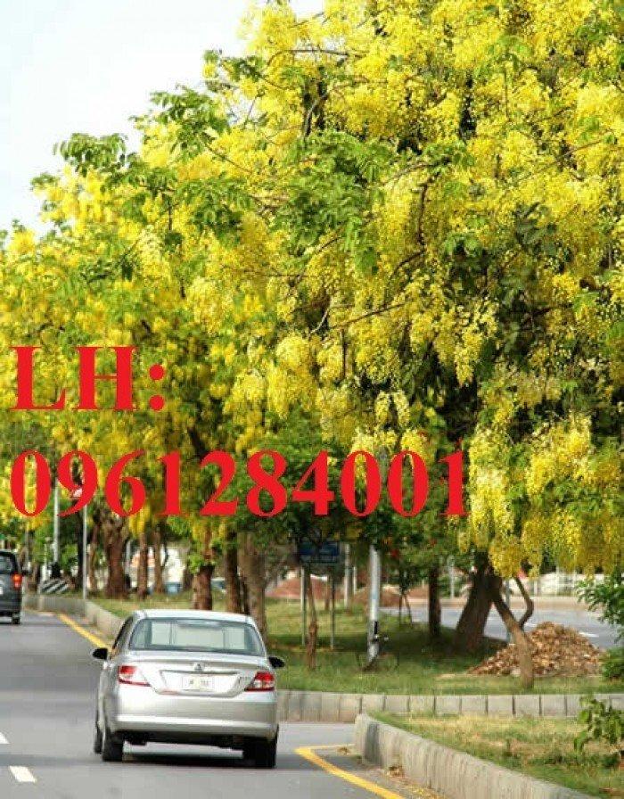 Bán cây giống muồng hoàng yến số lượng lớn, địa chỉ cung cấp uy tín chất lượng0