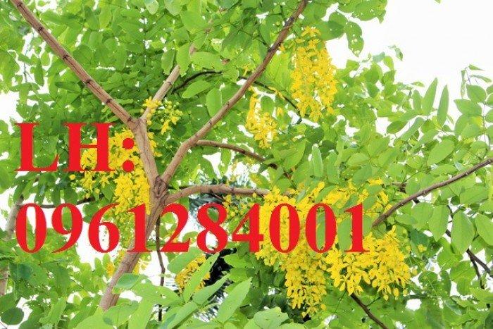 Bán cây giống muồng hoàng yến số lượng lớn, địa chỉ cung cấp uy tín chất lượng1