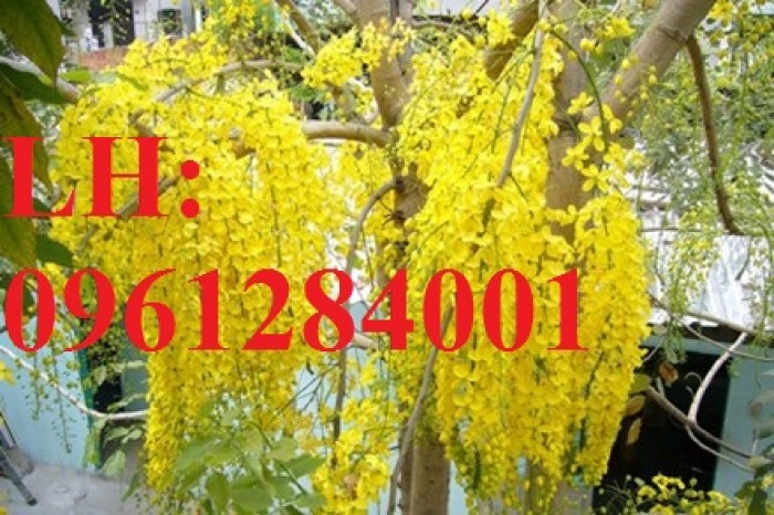 Bán cây giống muồng hoàng yến số lượng lớn, địa chỉ cung cấp uy tín chất lượng5