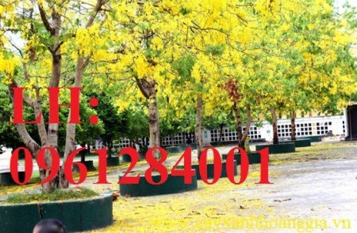 Bán cây giống muồng hoàng yến số lượng lớn, địa chỉ cung cấp uy tín chất lượng2