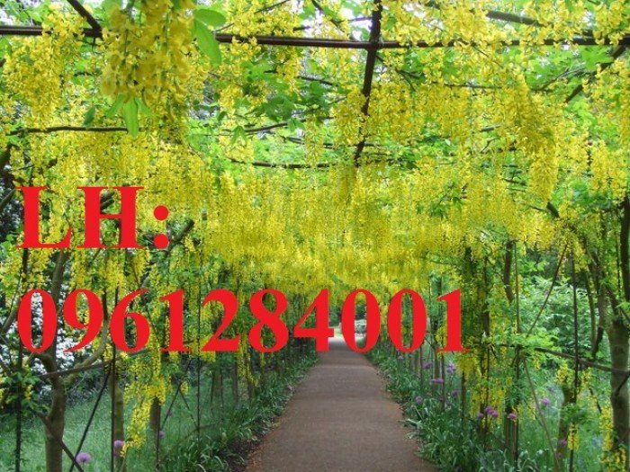 Bán cây giống muồng hoàng yến số lượng lớn, địa chỉ cung cấp uy tín chất lượng4