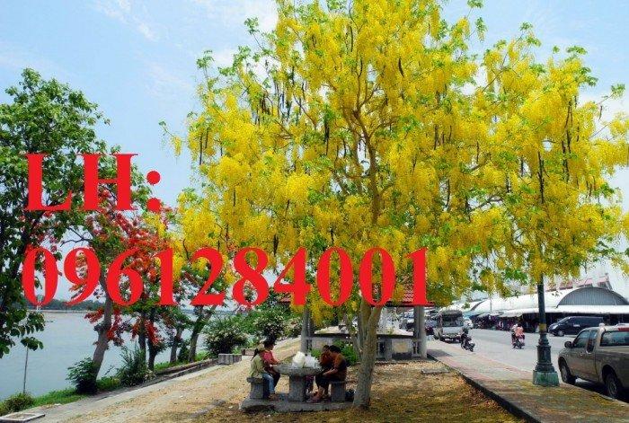 Bán cây giống muồng hoàng yến số lượng lớn, địa chỉ cung cấp uy tín chất lượng3