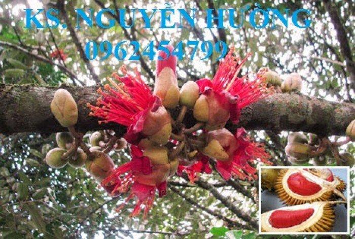 Bán cây giống sầu riêng ruột đỏ, sầu riêng musaking, sầu riêng mosaking chất lượng17
