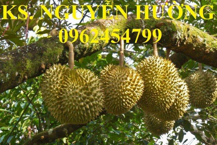 Bán cây giống sầu riêng ruột đỏ, sầu riêng musaking, sầu riêng mosaking chất lượng5