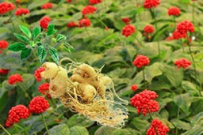 Cây sâm quý, sâm ngọc linh. cung cấp hạt giống sâm ngọc linh, cây giống sâm ngọc linh toàn quốc6