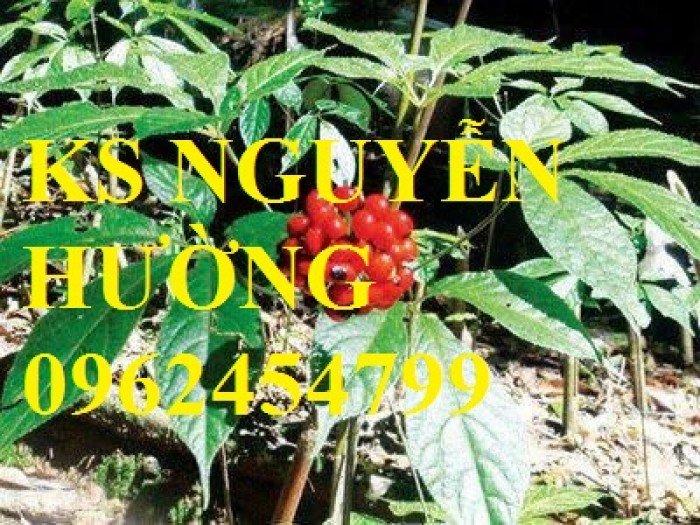 Cây sâm quý, sâm ngọc linh. cung cấp hạt giống sâm ngọc linh, cây giống sâm ngọc linh toàn quốc5