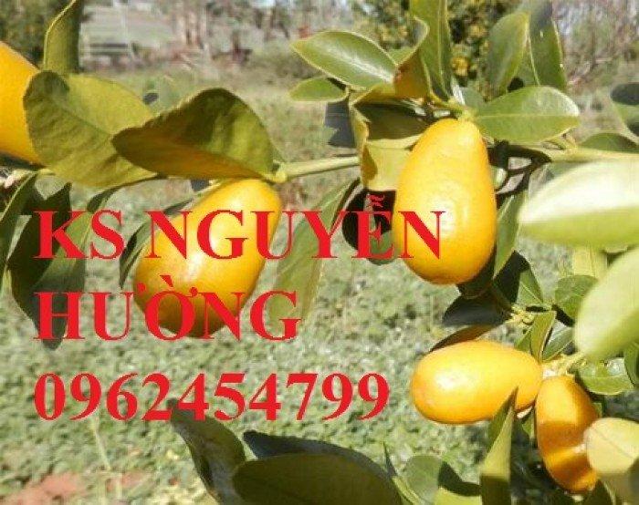 Cung cấp cây giống nhập khẩu, địa chỉ cung cấp cây giống chanh vàng sunrise - giao cây toàn quốc1