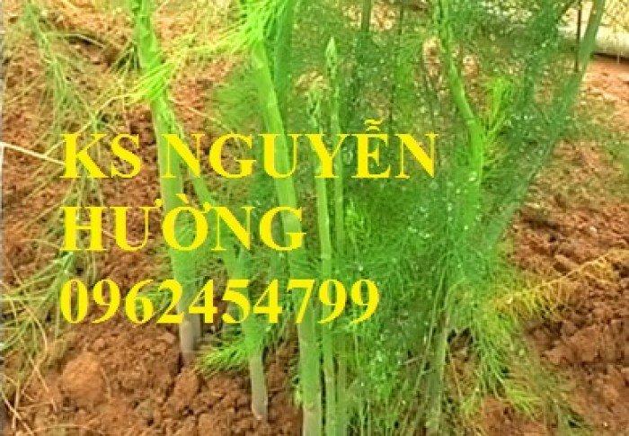 Cung cấp số lượng lớn cây giống măng tây, măng tây xanh, măng tây tím - giao cây toàn quốc3