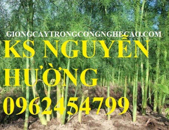 Cung cấp số lượng lớn cây giống măng tây, măng tây xanh, măng tây tím - giao cây toàn quốc2