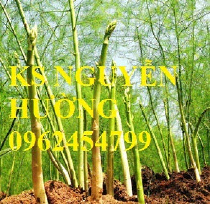 Cung cấp số lượng lớn cây giống măng tây, măng tây xanh, măng tây tím - giao cây toàn quốc4