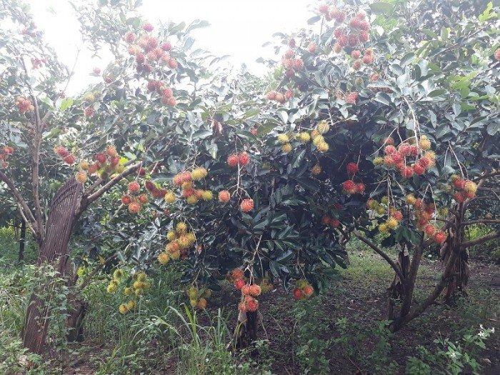 Cho thuê, hợp tác trại gà thả vườn, rộng 7000m2 đầu tư sẵn có vườn trái cây, trung tâm Long Khánh