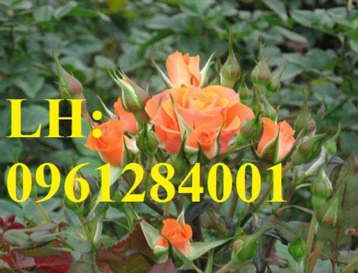 Cung cấp hoa chơi tết số lượng lớn, cung cấp hồng tỉ muội siêu nụ. giao cây toàn quốc4