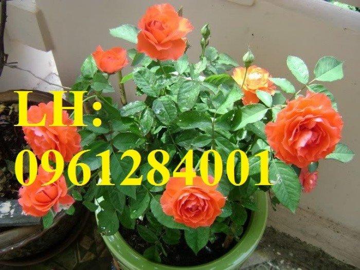 Cung cấp hoa chơi tết số lượng lớn, cung cấp hồng tỉ muội siêu nụ. giao cây toàn quốc3