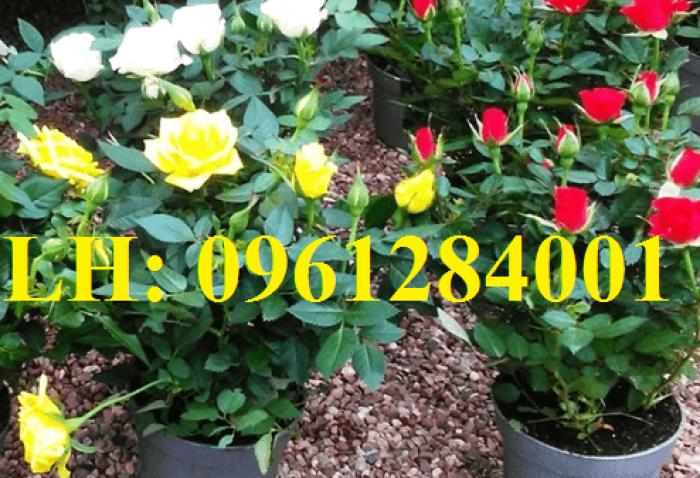 Cung cấp hoa chơi tết số lượng lớn, cung cấp hồng tỉ muội siêu nụ. giao cây toàn quốc5