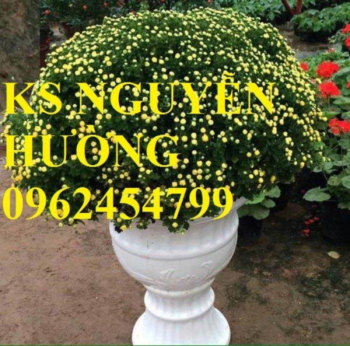 Cúc, cúc mâm xôi, cung cấp các loại cúc chơi tết, hoa đa dạng siêu nụ chất lượng3