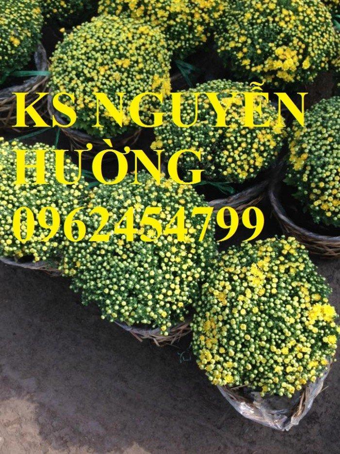 Cúc, cúc mâm xôi, cung cấp các loại cúc chơi tết, hoa đa dạng siêu nụ chất lượng0