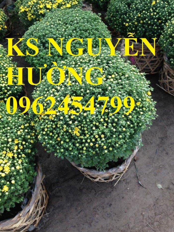 Cúc, cúc mâm xôi, cung cấp các loại cúc chơi tết, hoa đa dạng siêu nụ chất lượng1