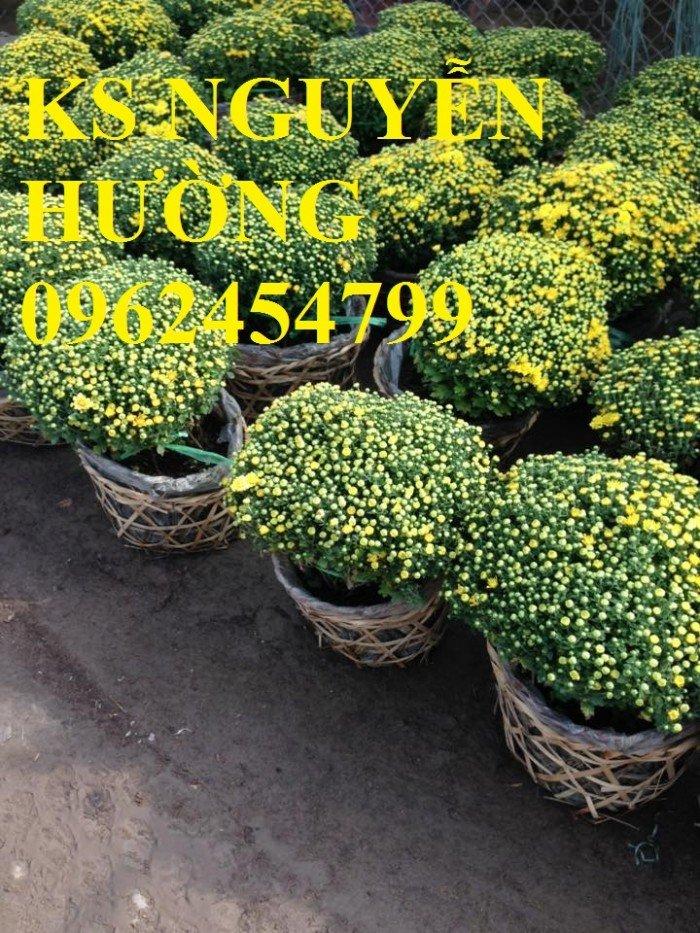 Cúc, cúc mâm xôi, cung cấp các loại cúc chơi tết, hoa đa dạng siêu nụ chất lượng2