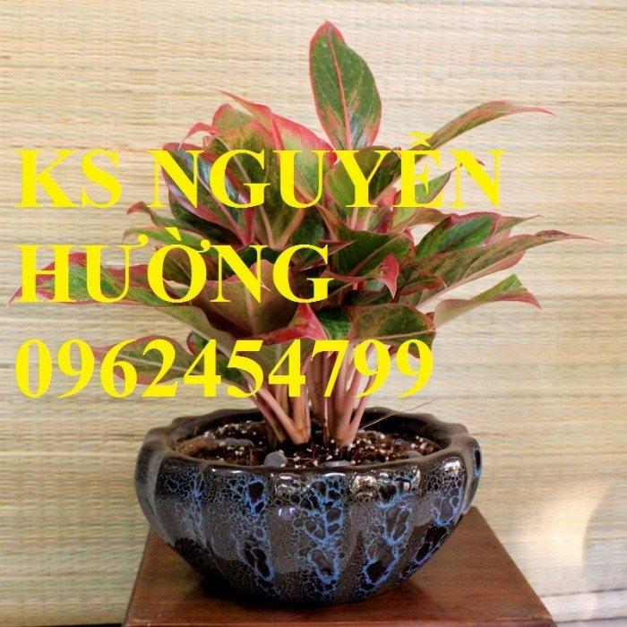 Cung cấp số lượng lớn hoa cây cảnh. cung cấp cây phú quý phong thủy chất lượng3