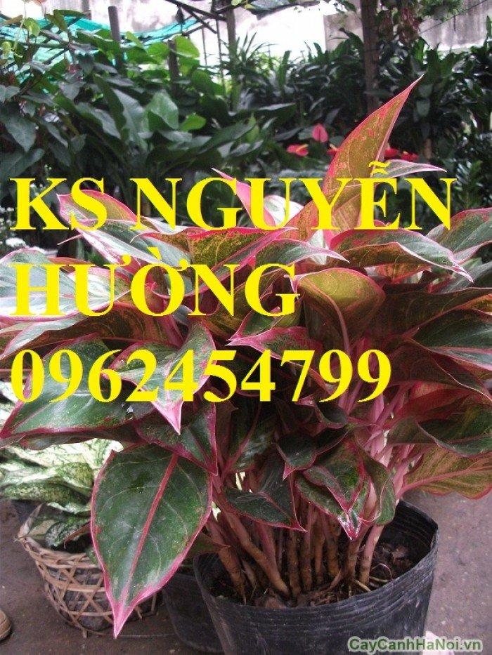 Cung cấp số lượng lớn hoa cây cảnh. cung cấp cây phú quý phong thủy chất lượng1