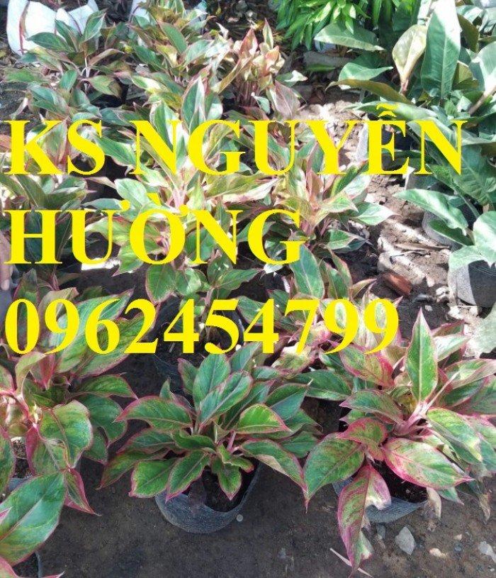 Cung cấp số lượng lớn hoa cây cảnh. cung cấp cây phú quý phong thủy chất lượng2