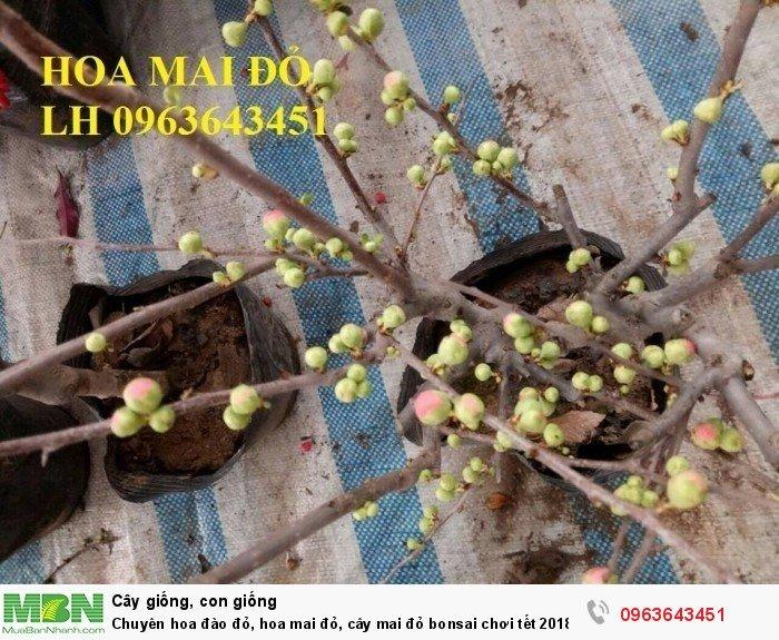 Chuyên hoa đào đỏ, hoa mai đỏ, cây mai đỏ bonsai chơi tết, hàng chuẩn đẹp, giá sỉ tốt nhất thị trường0