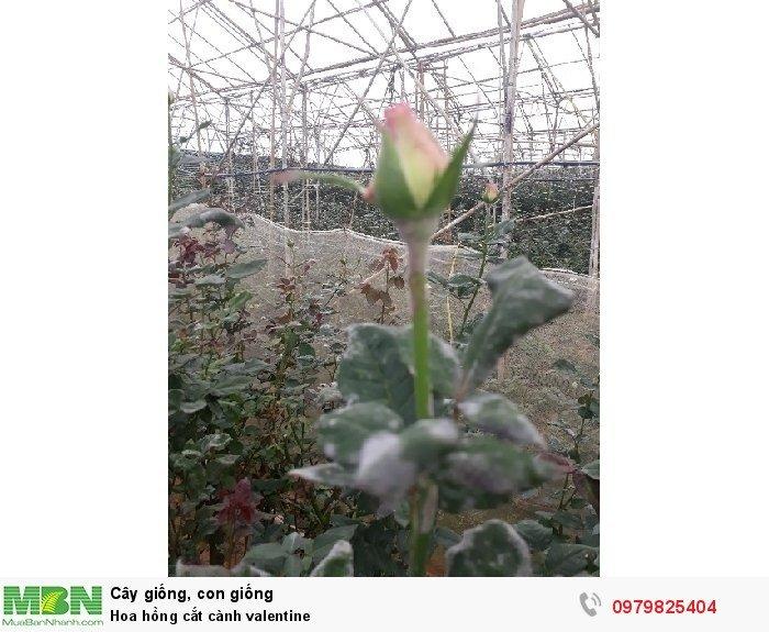 Hoa hồng cắt cành valentine4