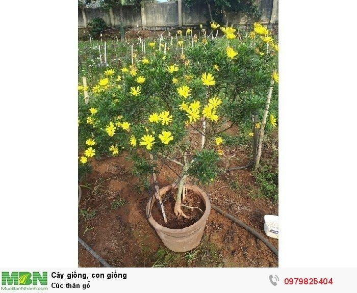 Cúc thân gỗ0