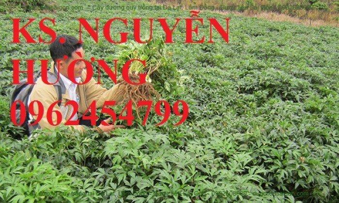Địa chỉ cung cấp giống cây dược liêu, cây giống, hạt giống đương quy. giao cây toàn quốc5