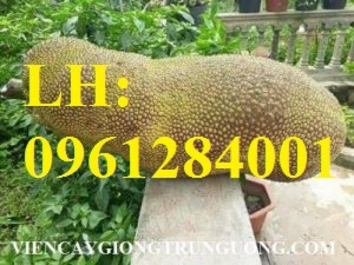 Địa chỉ chuyên cung cấp cây giống ăn quả, cây giống mít trái dài, mít malaysia. giao hàng toàn quốc4